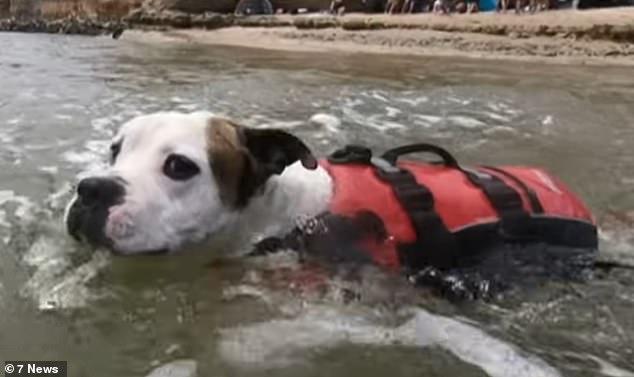 """Um cão herói nada no rio e resgata o menino que estava """"a apenas alguns segundos de se afogar"""""""