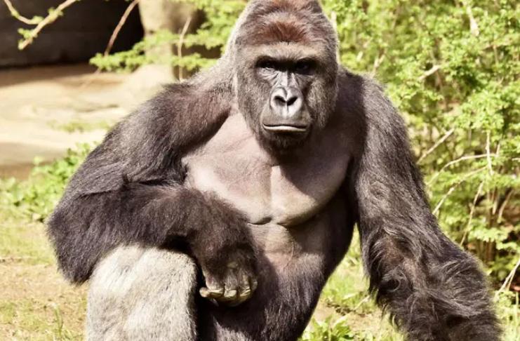 Gorilas do zoológico de San Diego receberão vacina COVID-19 após surto