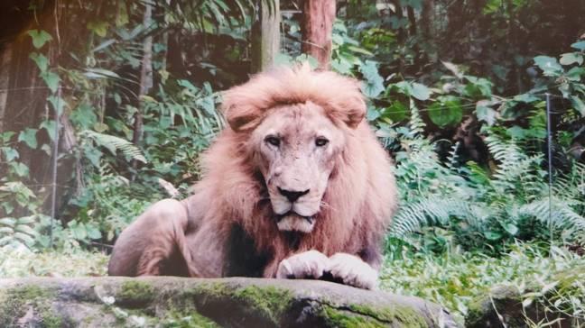 Zoo comemora nascimento de filhote de leão Simba nascido do esperma do falecido Mufasa