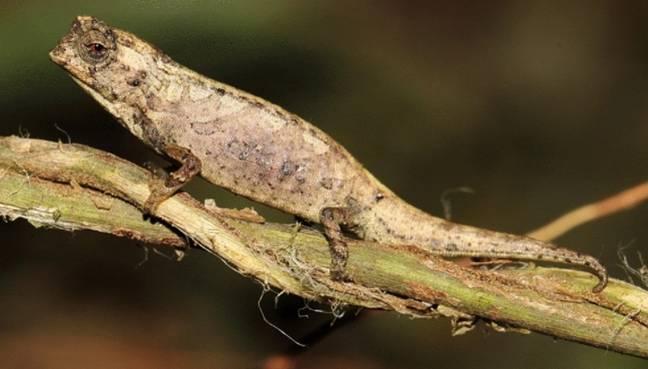 """Camaleão minúsculo descoberto com genitais """"surpreendentemente"""" grandes"""