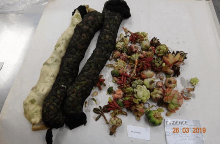 Mulher pega em contrabandeando cactos para a Nova Zelândia amarrando-os ao corpo