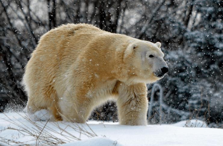 Urso polar fêmea morto por macho durante tentativa de reprodução no Zoológico de Detroit