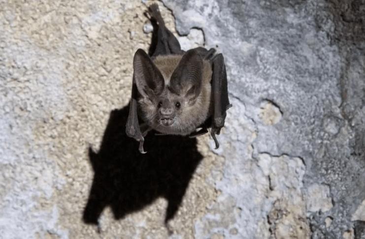 Novo coronavírus descoberto em morcegos na Tailândia semelhante ao COVID-19